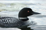 Common Loon, Minnesota State Bird